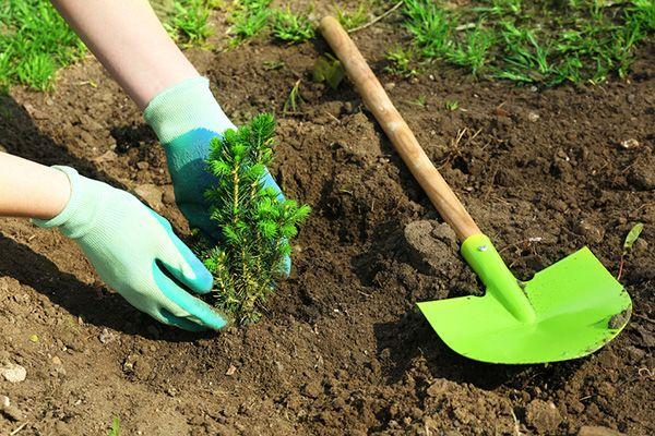 Comment planter une haie dans le jardin - Ou planter la rhubarbe dans le jardin ...