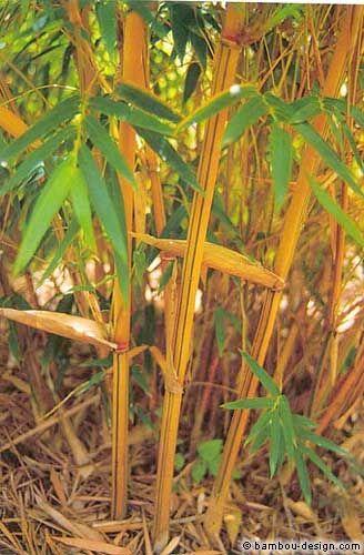Haie de bambous: une idée de plus en plus séduisante