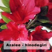 azalee jardin japonais